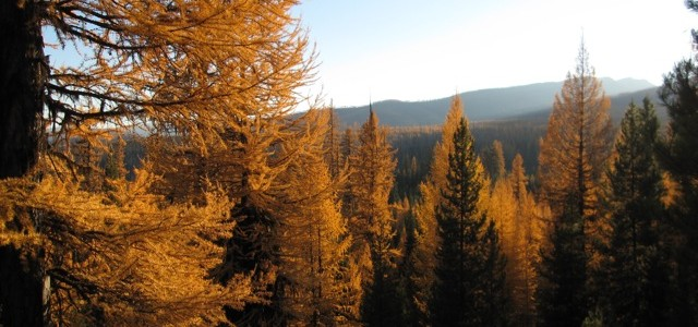Larches on Trail Creek