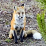 Red fox on the North Fork - photo by Pat Cole