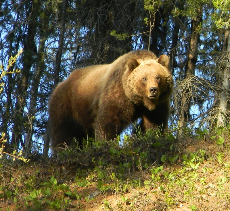 Grizzly from Pat Cole