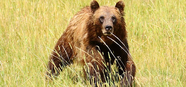 Grizzly by Dick Pfaff