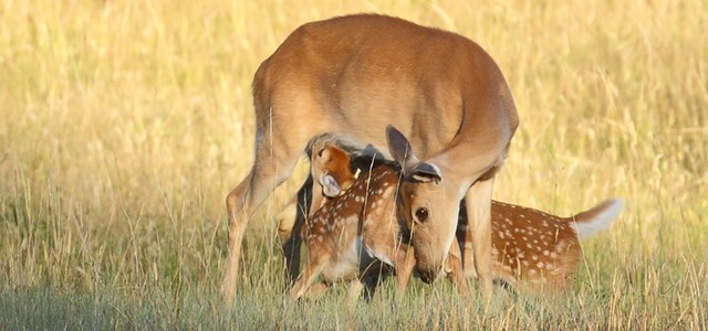 Momma deer and fawns