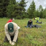 Everyone was working hard pulling knapweed