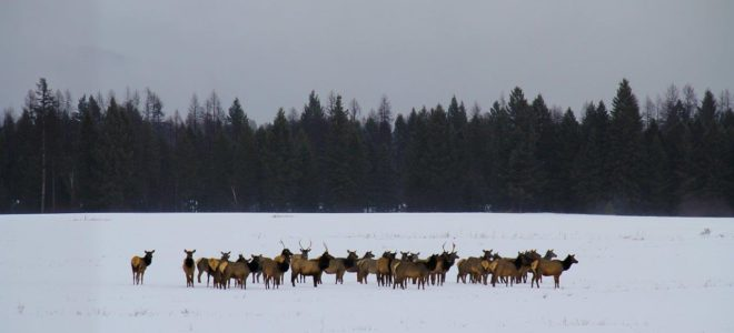 Elk in meadow