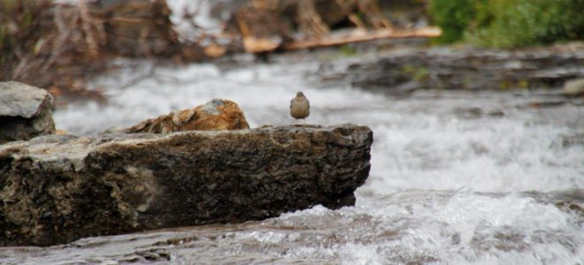 Bird by waterfall in Glacier Park