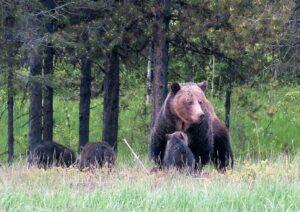 Monica with three cubs, June 8, 2020 – W. K. Walker